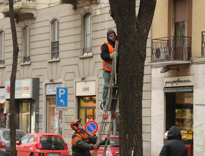 Milano, altri  olmi da abbattere FtIn via Mac Mahon si ferma il tram